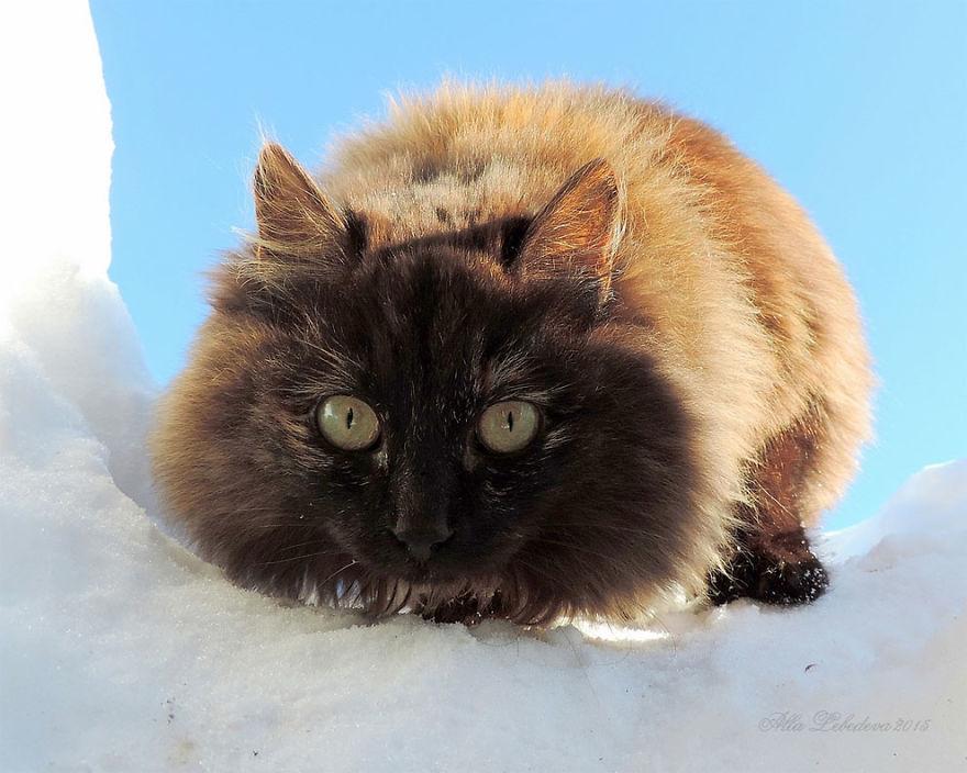 siberian-farm-cats-alla-lebedeva-35-5a33810eece59__880