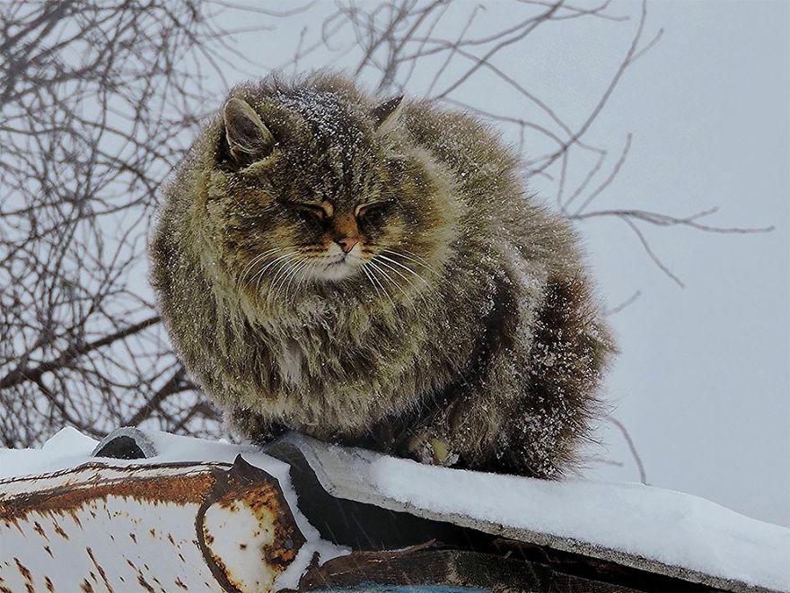 siberian-farm-cats-alla-lebedeva-4-5a3380c4f2a16__880