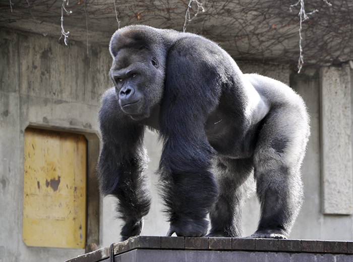 """This handout picture released from the Higashiyama Zoo and Botanical Gardens on June 26, 2015 shows giant male gorilla Shabani, weighing around 180kg at the Higashiyama Zoo in Nagoya in Aichi prefecture, central Japan.  The 18-year-old silverback with brooding good looks and rippling muscles is causing a stir at the Japanese zoo, with women flocking to check out the hunky pin-up.    AFP PHOTO / HIGASHIYAMA ZOO AND BOTANICAL GARDENS ---EDITORS NOTE---HANDOUT RESTRICTED TO EDITORIAL USE - MANDATORY CREDIT """"AFP PHOTO / HIGASHIYAMA ZOO AND BOTANICAL GARDENS"""" - NO MARKETING NO ADVERTISING CAMPAIGNS - DISTRIBUTED AS A SERVICE TO CLIENTS"""