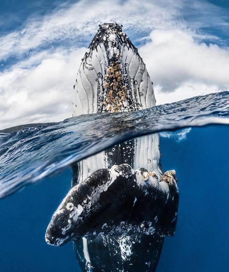 01-Humpback_whale_spy_hopping