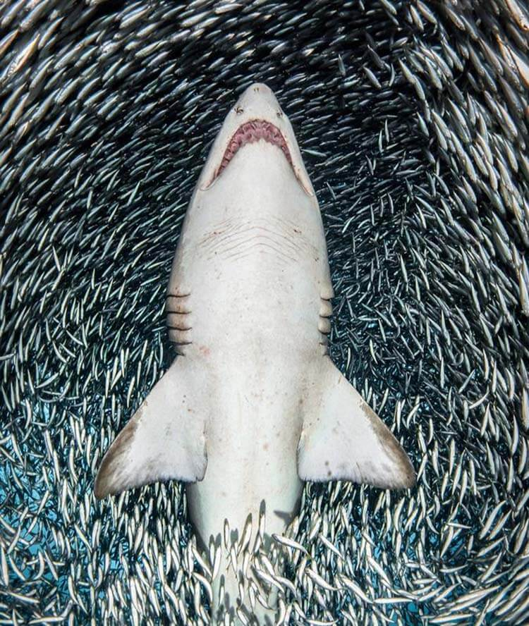 09-A_sand_tiger_shark_surrounded_by_tiny_bait_fish