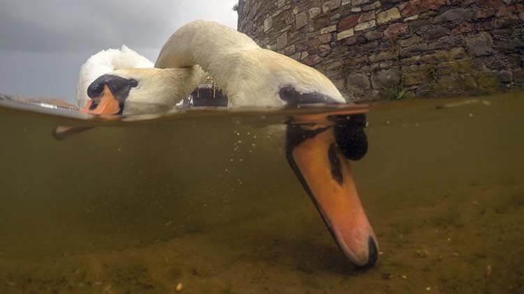 22-Intertwined_mute_swans