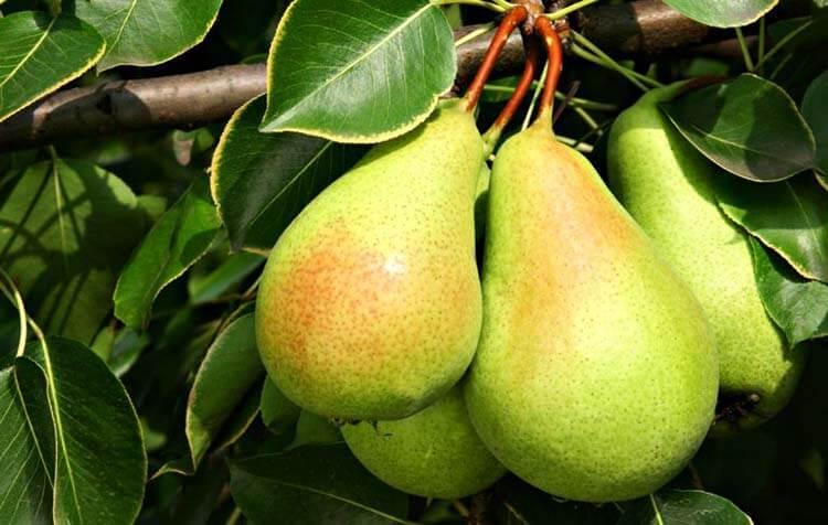 meyve şeker oranı armut