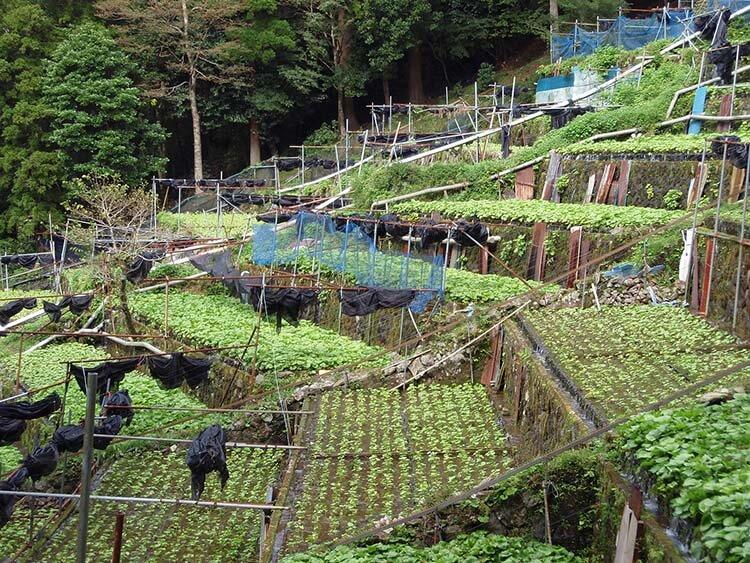 Wasabi hakkında bilgiler - wasabi bitkisi zor yetişir
