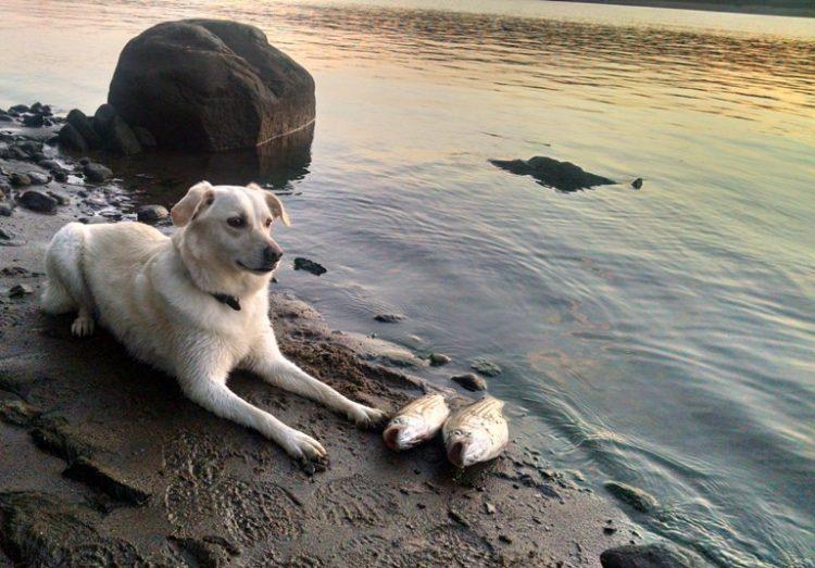 balıkçı labrador retriever