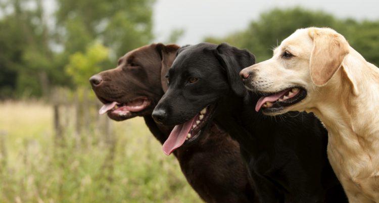 labrador retriever özellikleri