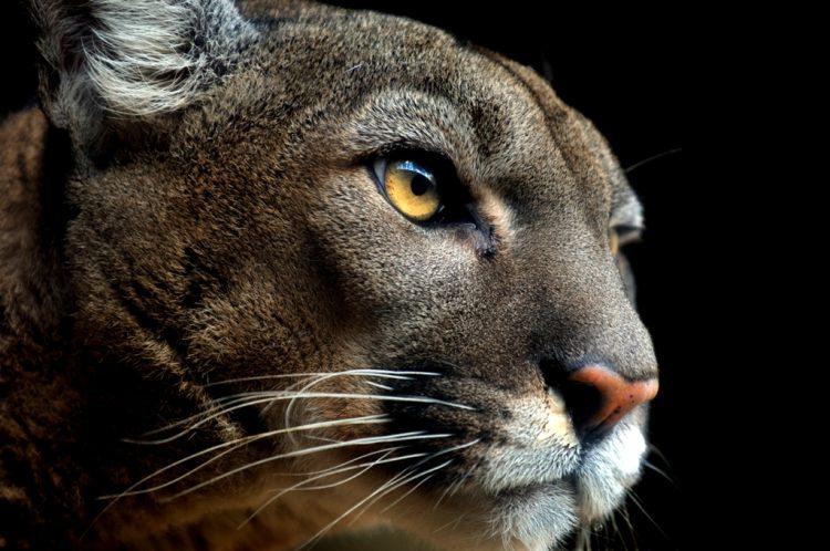 Doğu Puması