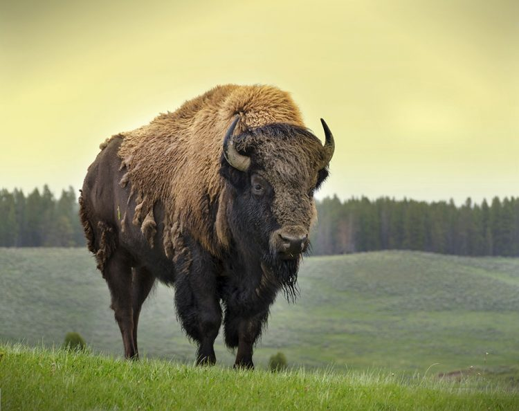 Yaban bizonu