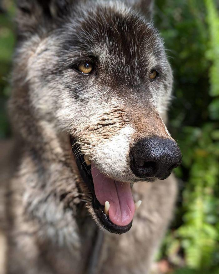 kurt köpeği Yuki