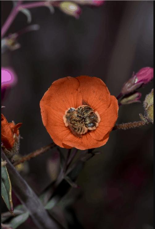 çiçeğin içinde uyuyan arılar