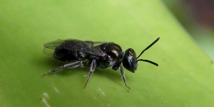 ter arısı