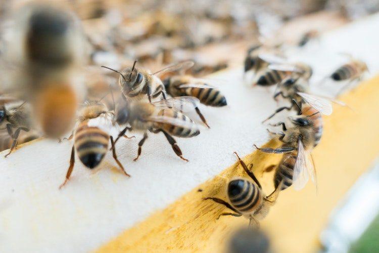 ter arıları