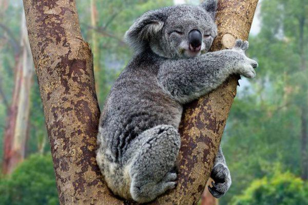 """Koalaların Nesli """"İşlevsel"""" Olarak Tükenmekle Karşı Karşıya"""