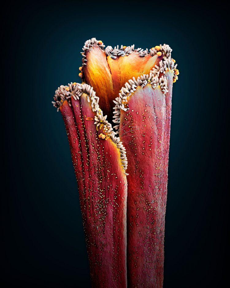 safrançiçeğiyakınplan