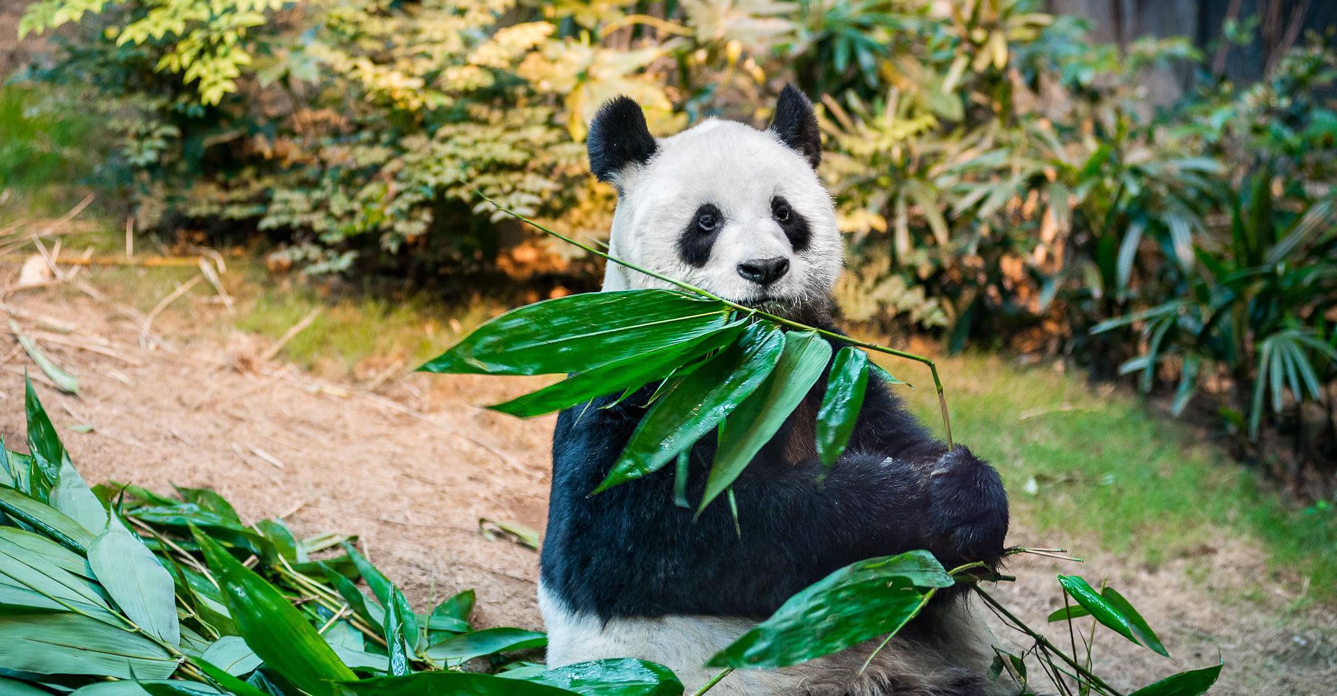 çiftleşen pandalar