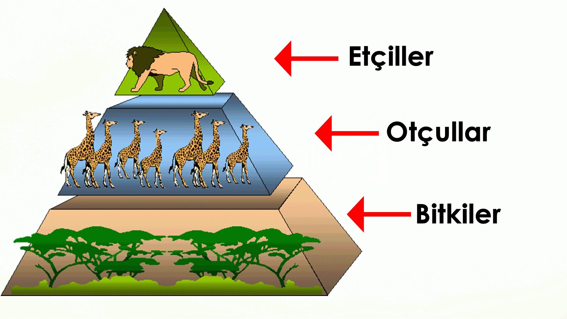 Besin zinciri nedir Besin piramidi hakkında bilgiler
