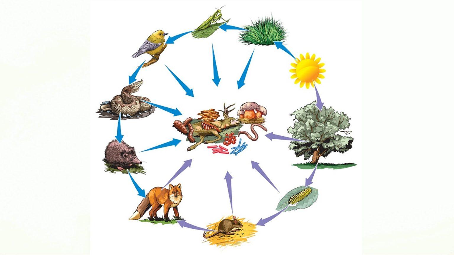 какое место экосистеме занимают в пищевой цепи