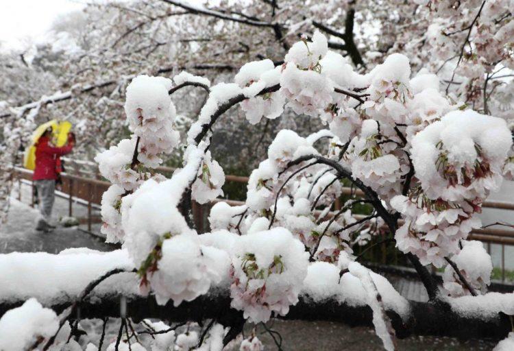 Kiraz çiçeklerindeki kar