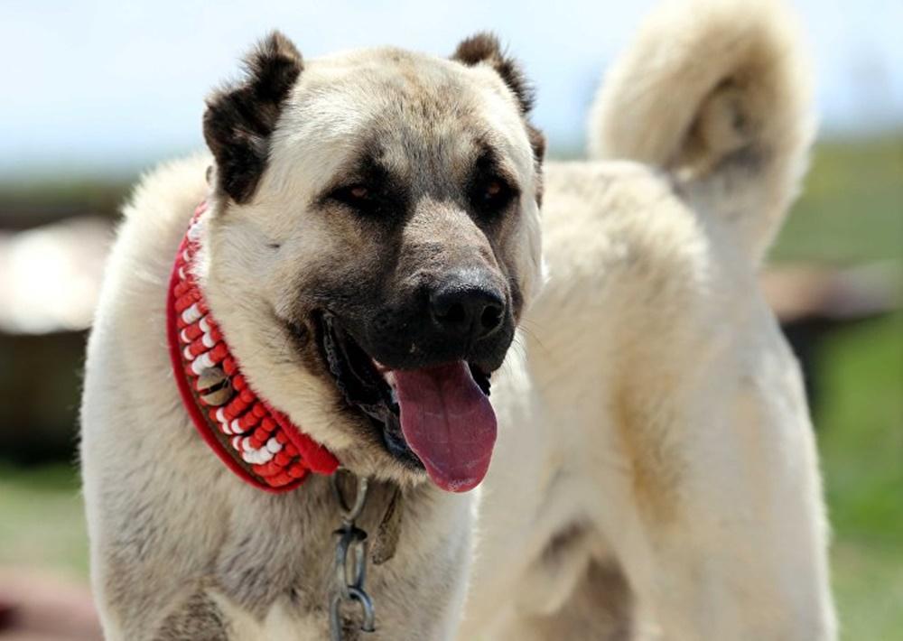 Kangal köpeğinin karakter özellikleri