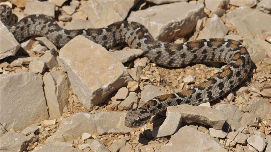 zehirli yılan türleri