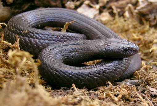 zehirli yılanlar