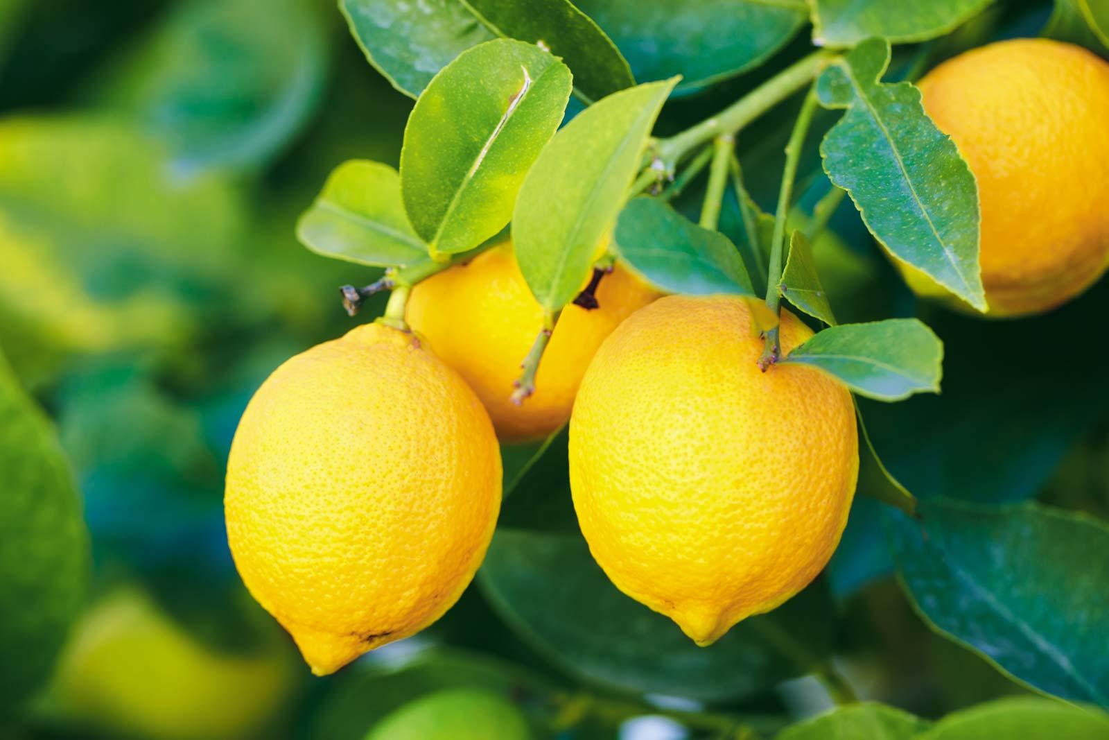 Limon hakkında her şey