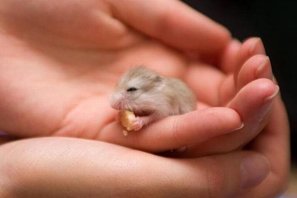 En küçük hamster