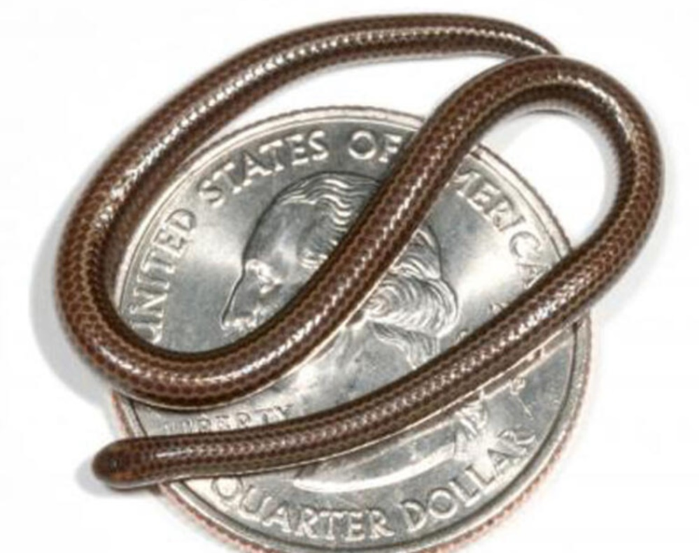 En küçük yılan