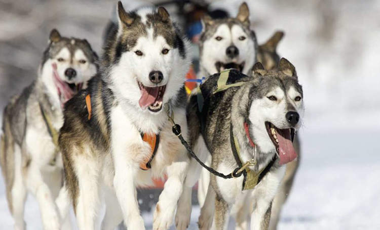 sibirya kurdu Husky köpek özellikleri
