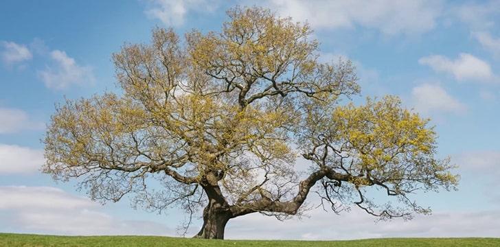meşe ağaçları