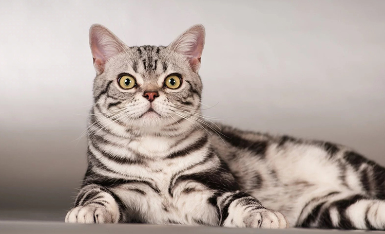 American shorthair kedisi zeki kediler