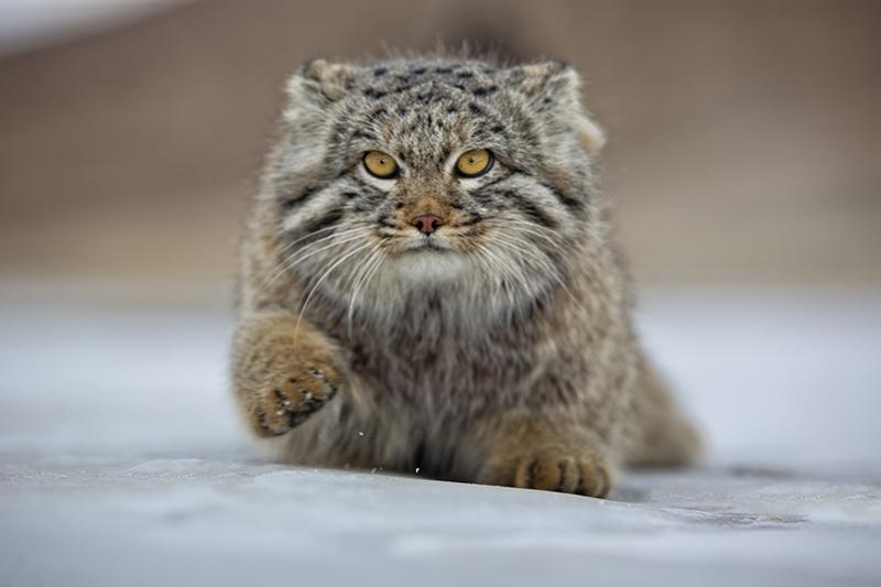 pallas kedisi ağırlığı kilosu listelist
