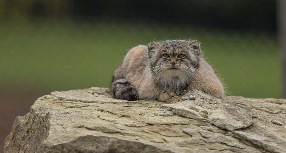 pallas manul tehdit altında kedi türü
