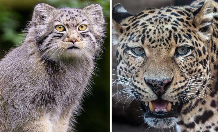 leopar akraba