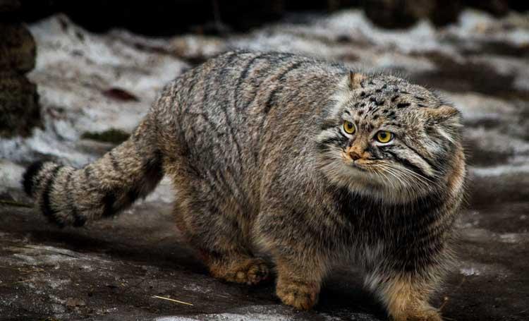pallas kedisi özellikleri tüyleri