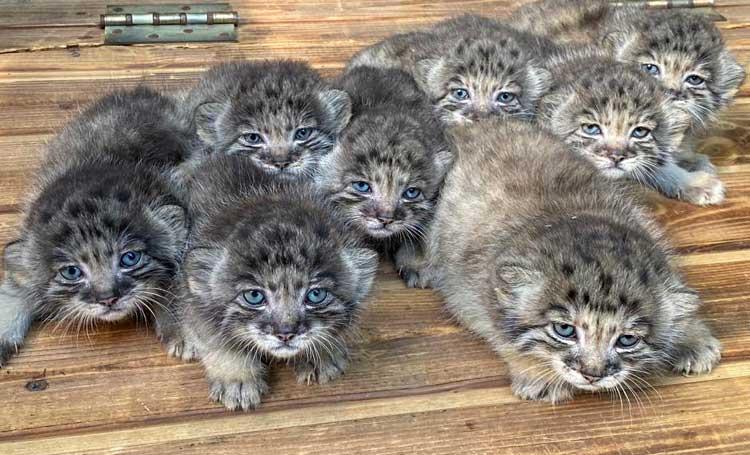 pallas yavruları