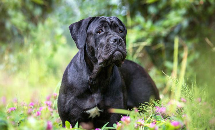 cane corso cinsi köpek listelist