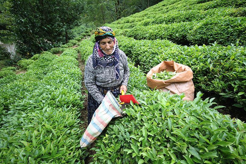 çay toplama çay hakkında bilinmeyenler listelist