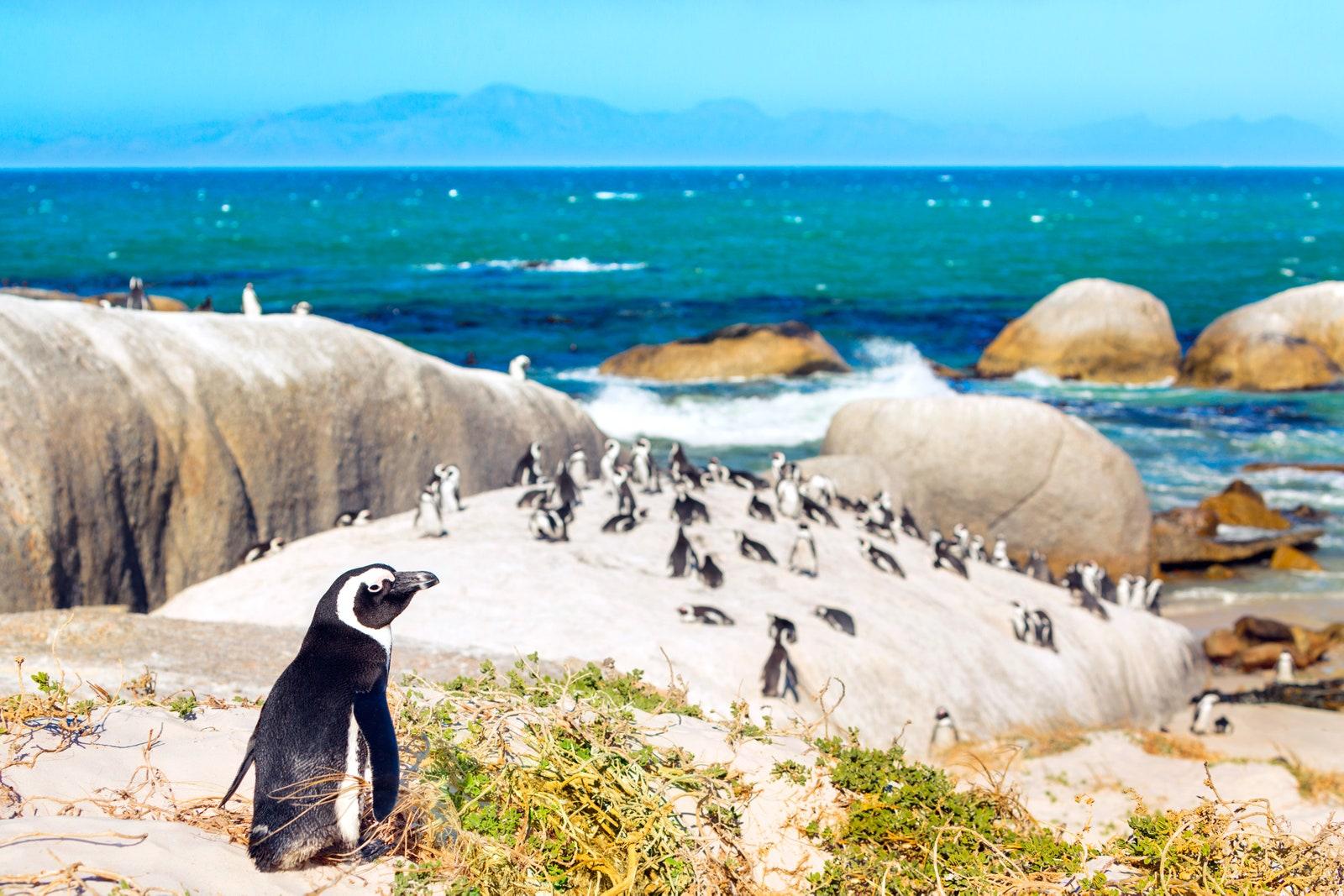 Boulders Plajı, Güney Afrika