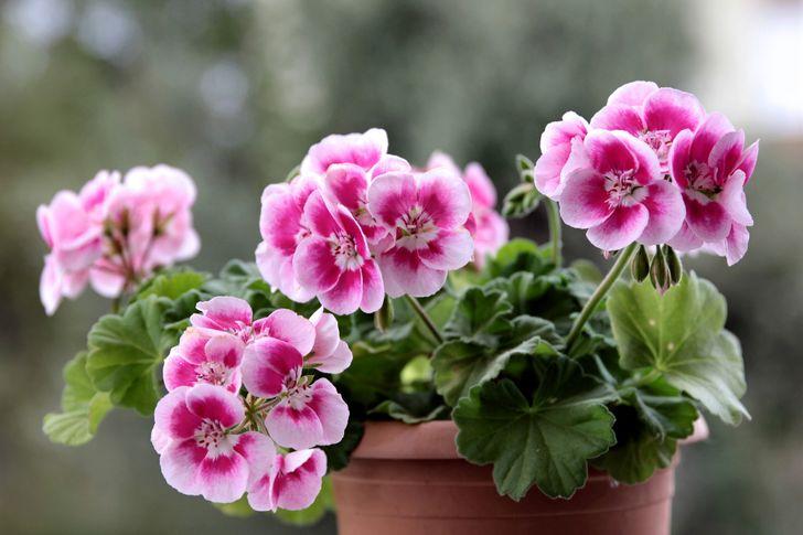 güzel kokulu ev bitkileri