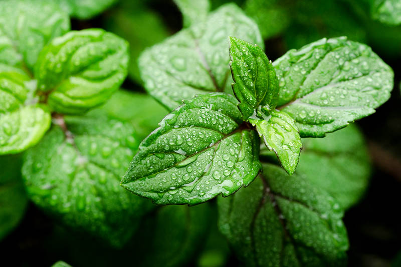 stevia nedir?