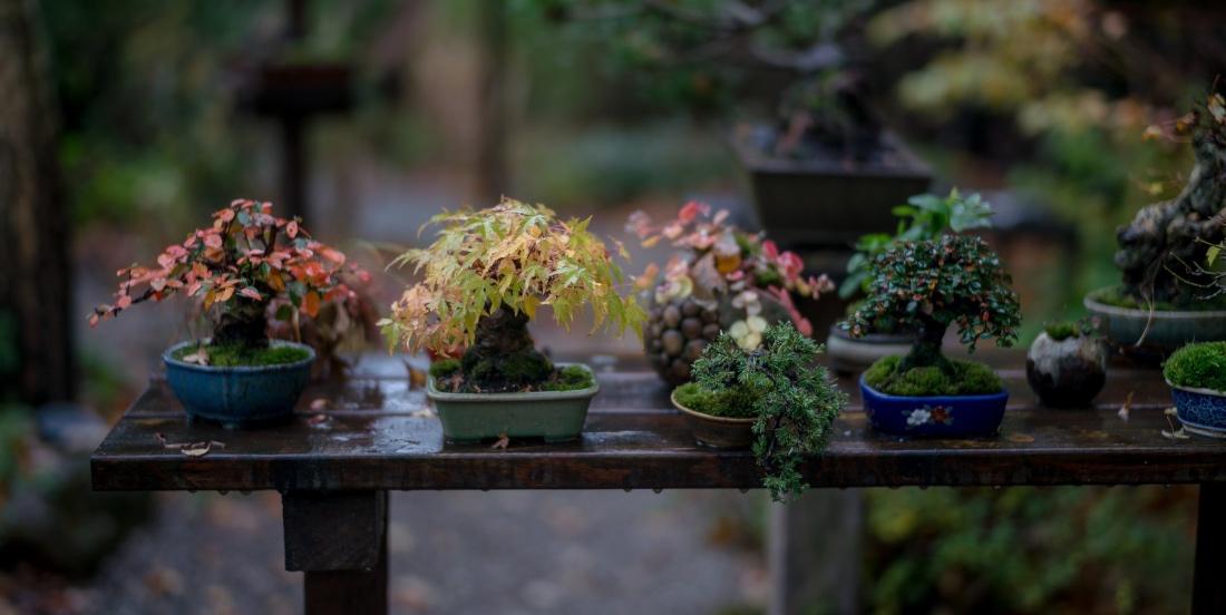bonsai bakımı