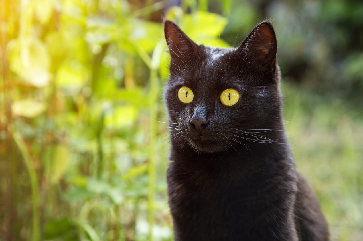 Kara kediler