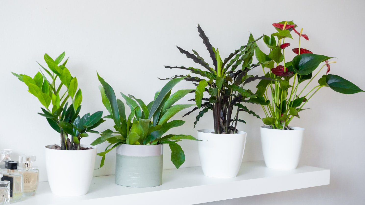 antoryum çiçeği bakımı