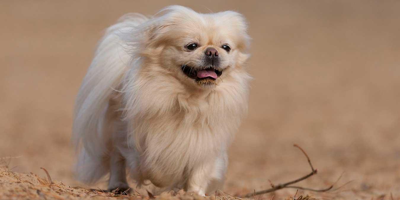 süs köpeği