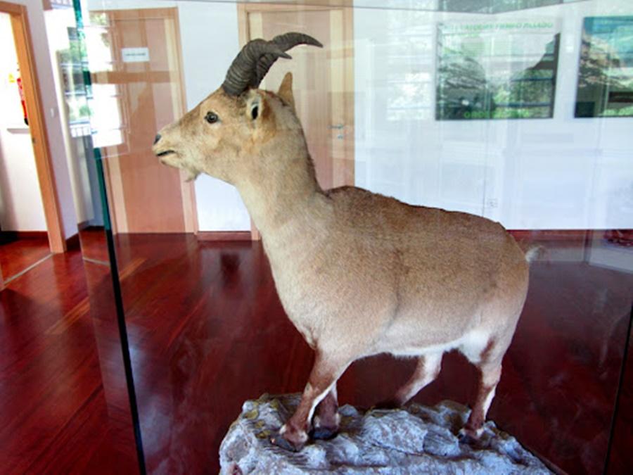 Pirene dağ keçisi