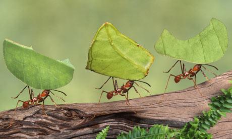Leaf-cutter-ants-Atta-cep-003